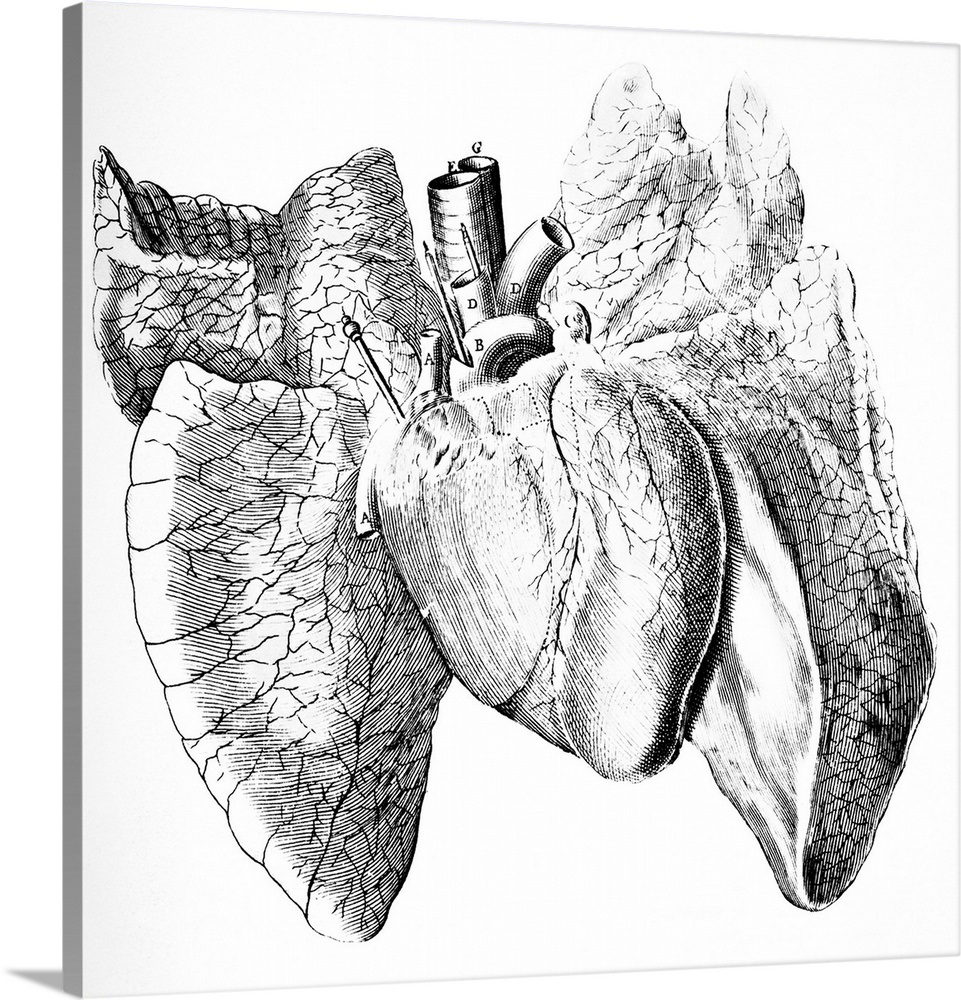 Heart And Lung Anatomy 17th Century Wall Art Canvas Prints Framed