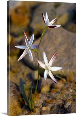 Hesperantha cucullata flowers