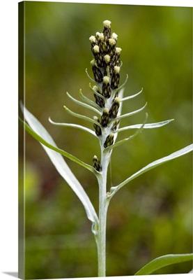Highland cudweed (Gnaphalium norvegicum)