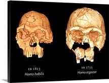 Hominid skulls, 3D computer images