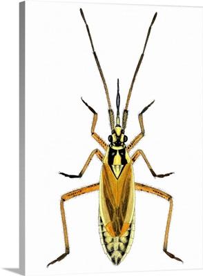 Hop capsid bug