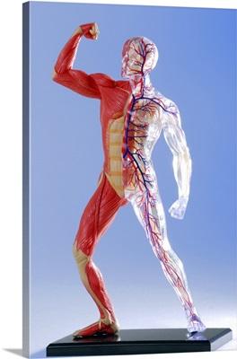 Human body, anatomical model
