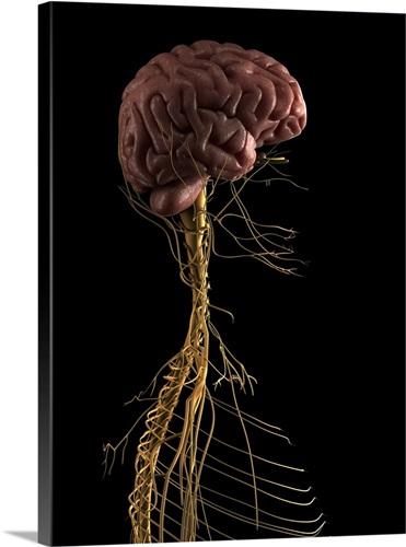 Human nervous system, artwork Wall Art, Canvas Prints, Framed Prints ...