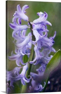 Hyacinth (Hyacinthus orientalis hybrid)