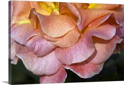 Hybrid tea rose (Rosa 'Can-Can')