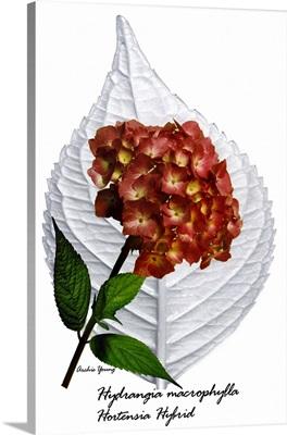Hydrangia Hortensia Hybrid