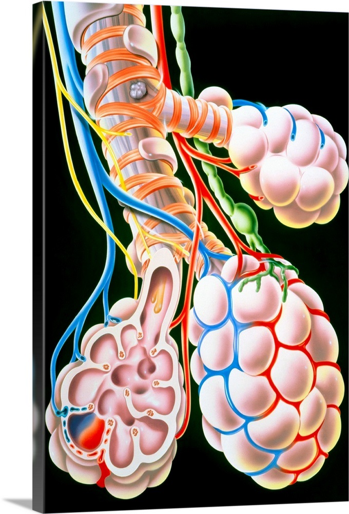 Illustration Of Lung Bronchioles And Alveoli Wall Art Canvas Prints