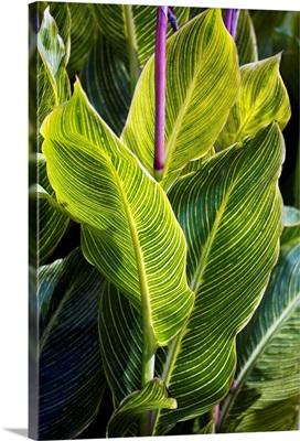 Indian shot plant (Canna 'Striata')