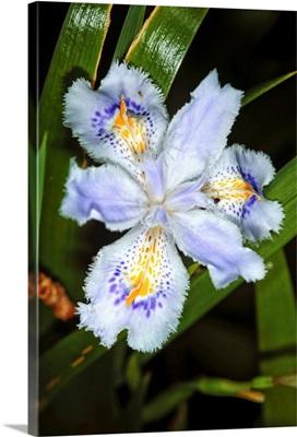 Iris (Iris japonica)