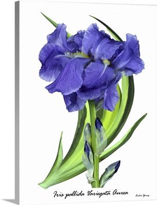Iris pallida 'Aurea Variegata'