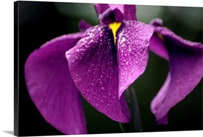 Japanese water iris flower (Iris ensata)