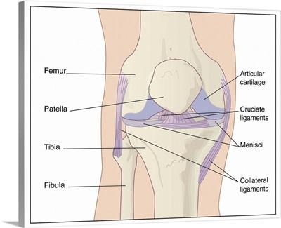 Knee joint anatomy, artwork