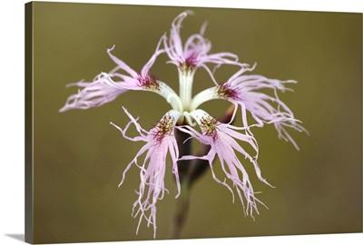 Large pink (Dianthus superbus)
