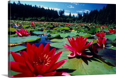 Large water lilies, Nymphaea