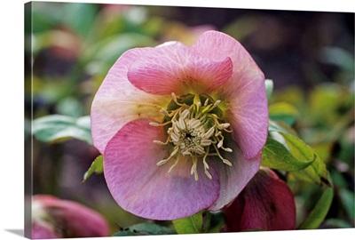 Lenten rose 'Zodiac Strain' flower