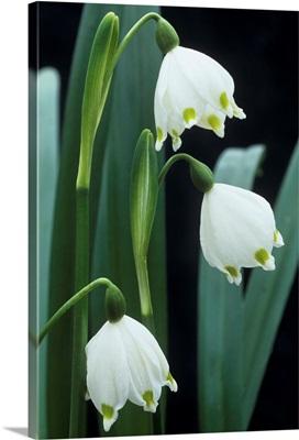 Leucojum vernum flowers