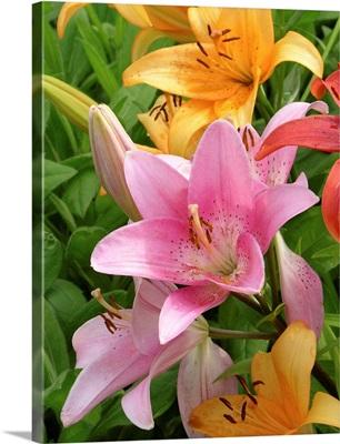 Lilies (Lilium sp.)