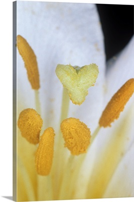 Lily flower reproduction