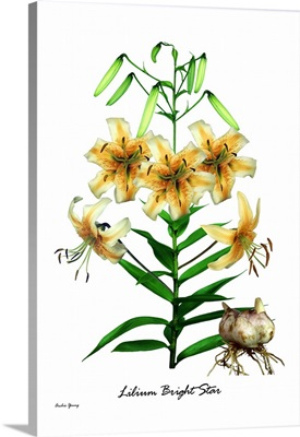 Lily (Lilium 'Bright Star')