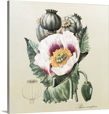 Lithograph of the opium poppy