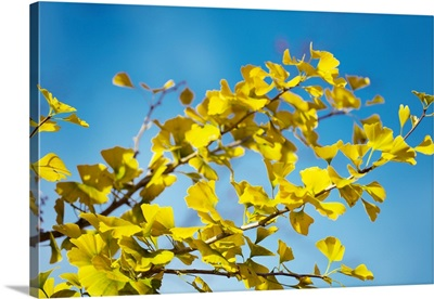 Maidenhair tree leaves (Ginkgo biloba)