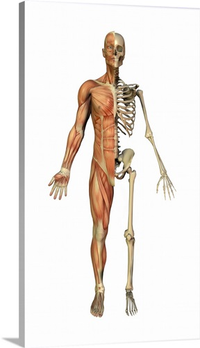 Male Muscles And Skeleton Artwork Wall Art Canvas Prints Framed
