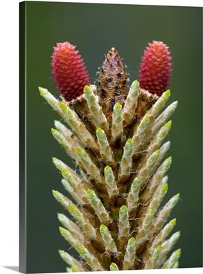 Maritime pine flower (Pinus pinaster)