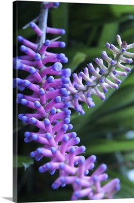 Matchsticks bromeliad (Aechmea sp.)