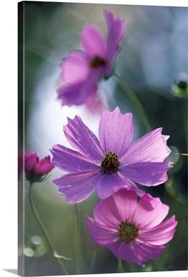 Mexican aster flowers (Cosmos bipinnatus)