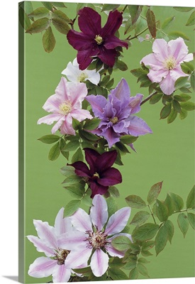 Mixed clematis flowers