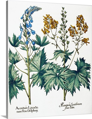Monkshead flowers