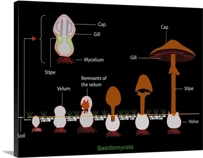 Mushroom anatomy, diagram