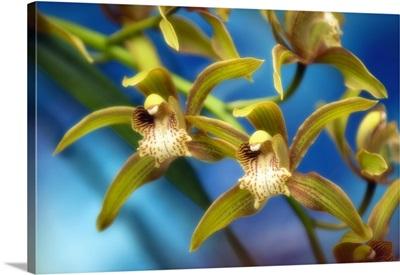 Orchid (Cymbidium hybrid)