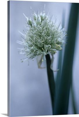 Organic Welsh onion (Allium fistulosum)
