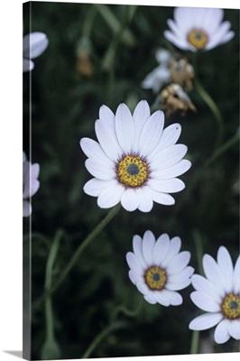 Osteospermum 'Westwood' flowers