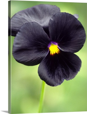 Pansy (Viola wittrockiana)