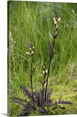 Pedicularis sceptrum-carolinum