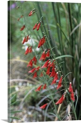 Penstemon barbatus flowers