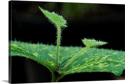 Piggyback plant (Tolmiea menziesii)