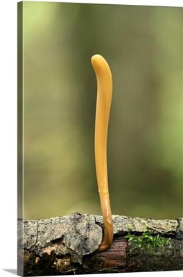 Pipe club fungus