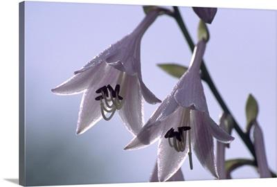 Plantain lily flowers (Hosta sp.)