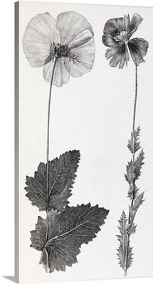 Poppy, 19th century artwork