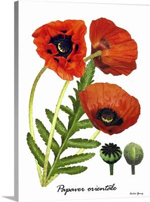 Poppy (Papaver orientale)