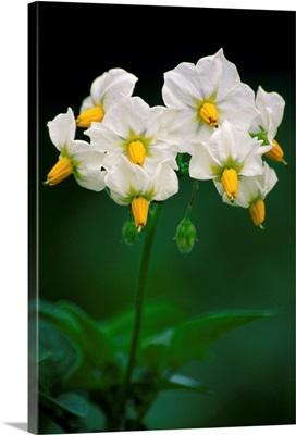 Potato flowers (Solanum tuberosum)