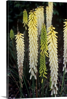 Red hot poker (Kniphofia 'Little Maid')