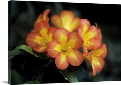 Rhododendron zoelleri decimus