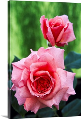 Rose flowers (Rosa 'Aloha')