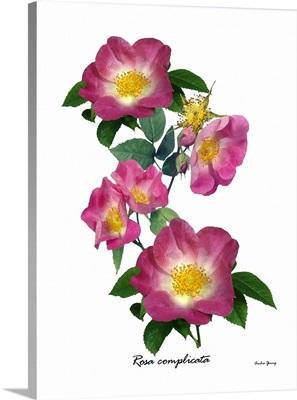 Rose (Rosa complicata)