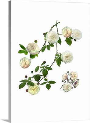 Rose (Rosa 'Felicite Perpetue')