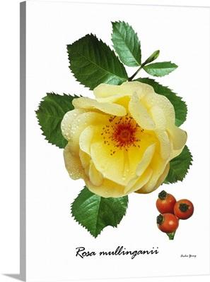 Rose (Rosa mullinganii)